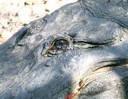 crocodile-tears..